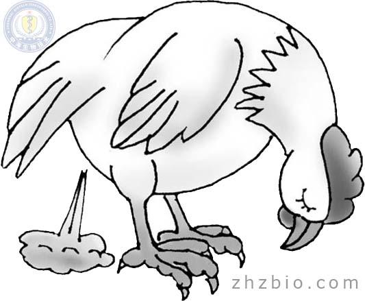 鸡新城疫(鸡瘟)发病症状和预防治疗办法